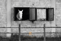 """White horse at the window"""